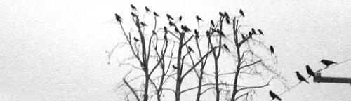 cropped-crowsInTree04_2test.jpg