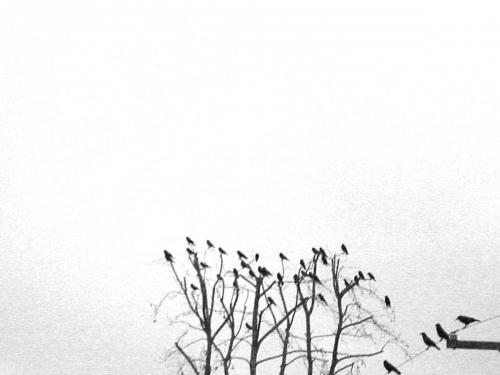 crowsInTree04_2test